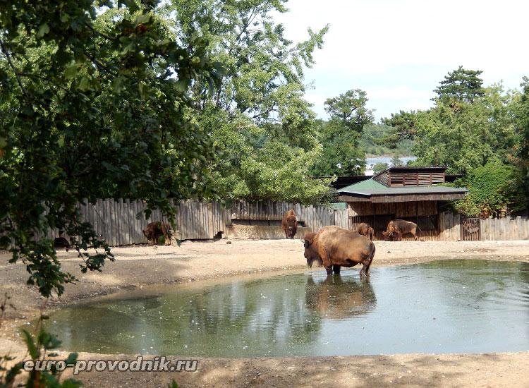 Бизоны в полдень