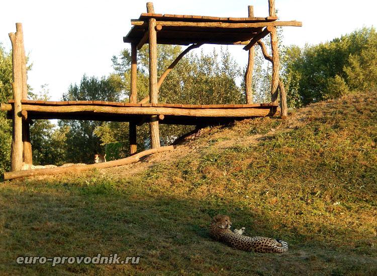 Гепарды в Пражском зоопарке