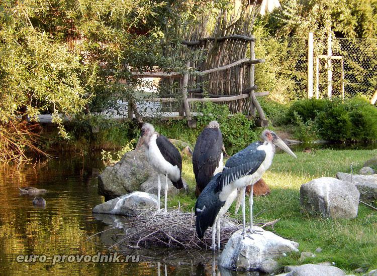 Птицы марабу...