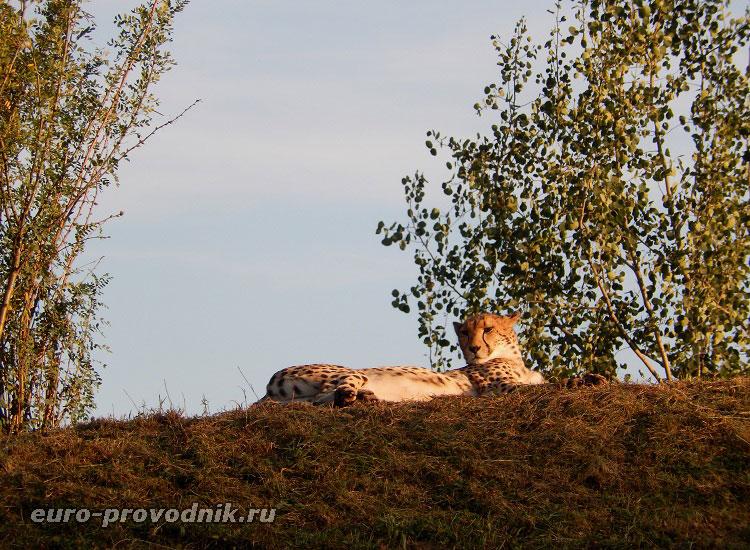 Гепард на отдыхе :)