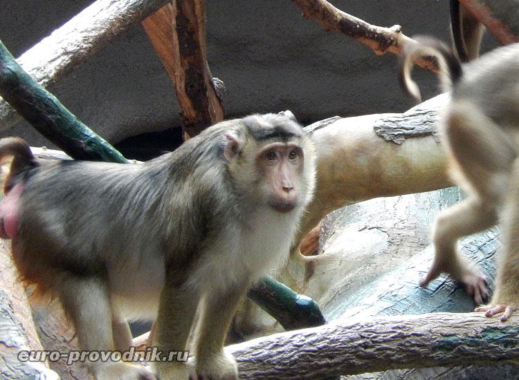 Орангутанг в Пражском зоопарке