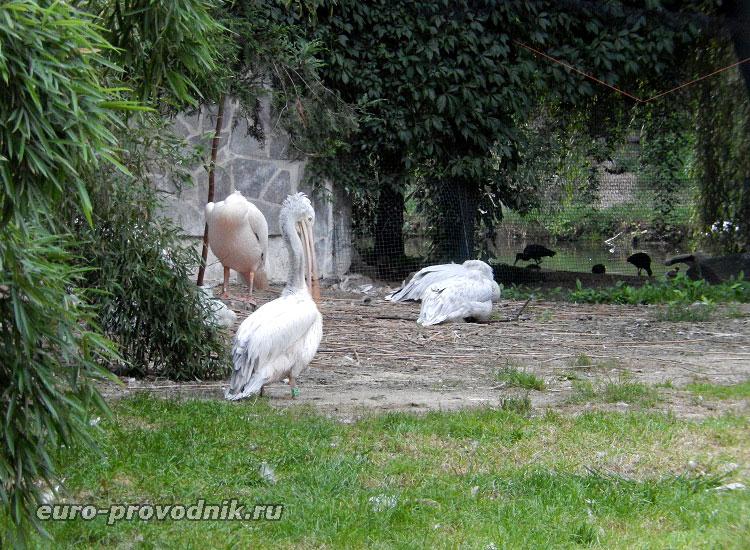 Колпицы и пеликаны