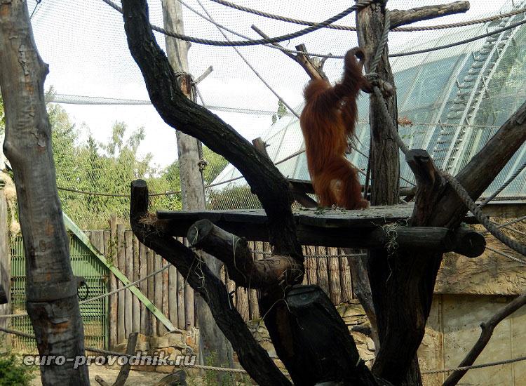 Шимпанзе на старте