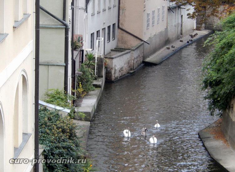 Лебеди у Карлова моста