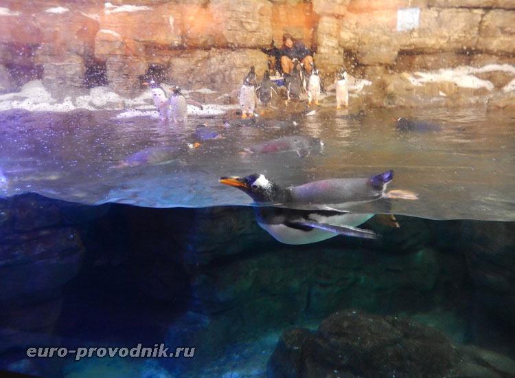 Пингвины Папуа