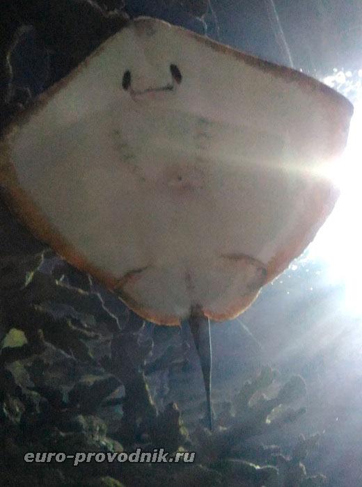 Скат изучает посетителей океанариума
